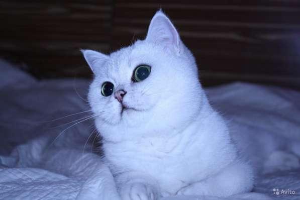 Котята серебристой шиншиллы в Москве фото 7