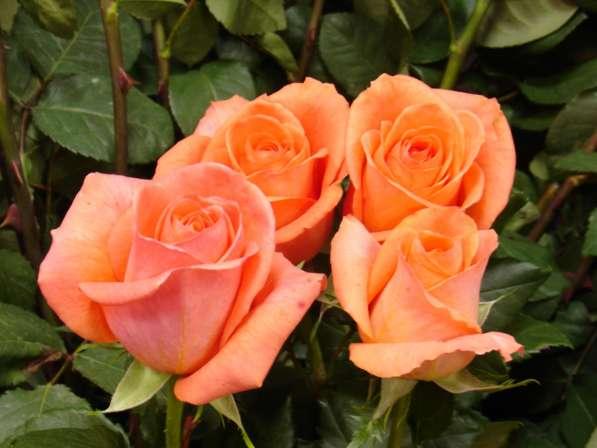 Срез для букетов (розы) в Ростове-на-Дону фото 10