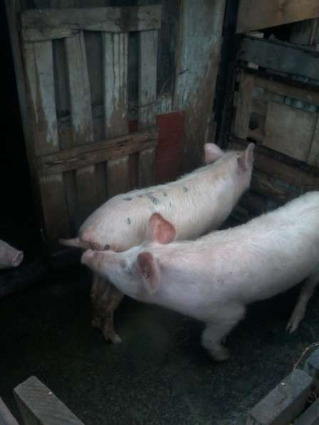 Продам поросят. свиноматку. цена договорная. мясные