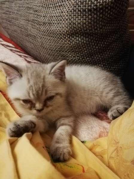 3 Britische Kätzchen auf der Suche nach einer Familie в фото 12