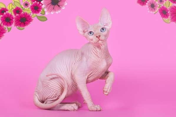 Котёнок, это не просто котёнок., это Эльф, бамбино, сфинкс!