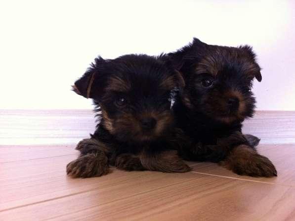 Продаются красивые щенки йоркширского терьера