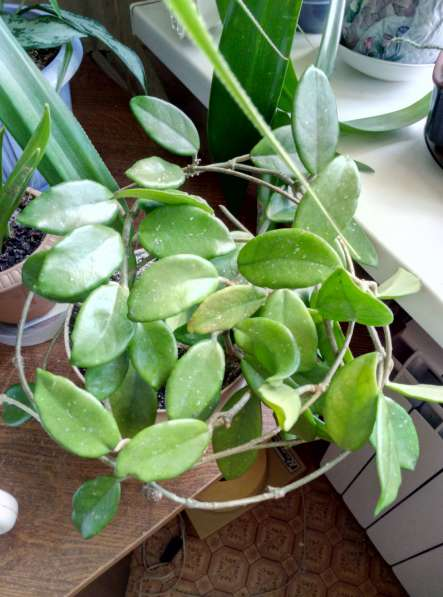Растения для дома и офиса в Новосибирске фото 13
