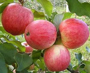 Двухлетние саженцы яблони