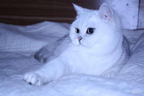 Котята серебристой шиншиллы в Москве фото 6