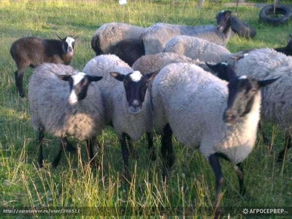 Продам овец романовской породы срочно не дорого