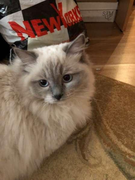 Котята породы Рэгдолл в Кургане фото 7