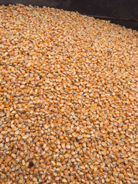Кукуруза фуражная 2000 тонн