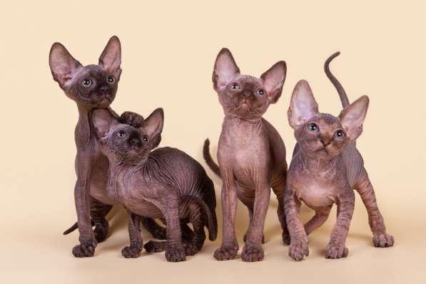 Котёнок сфинкс - маленький талисман. в Екатеринбурге фото 5