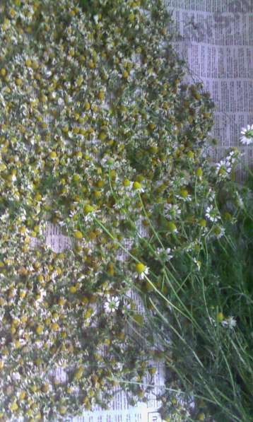 Цветки и семена ромашки