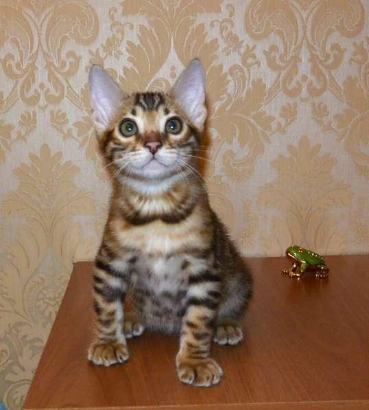 Бенгальские котята в Челябинске фото 5