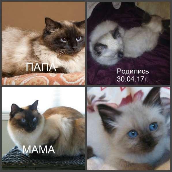 Баленезийские котята 500 руб