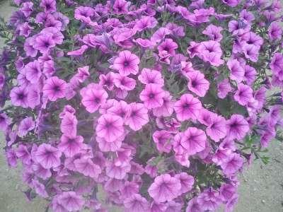 цветущая рассада цветов