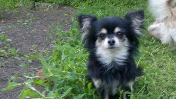 Продаются собачки чихуахуа по низкой цене