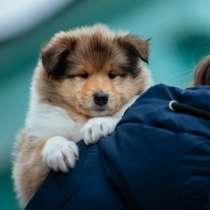 Collie rough Puppies, в г.Califon