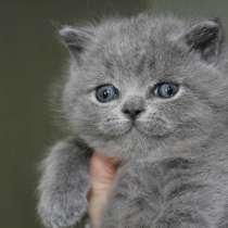 Британские котята голубого окраса, в Санкт-Петербурге