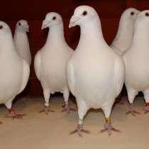 Продаю белых спортивных голубей расы Frank Scherens & Louis, в Москве
