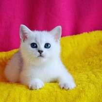 Продается котенок британец серебристая шиншилла, в г.Киев