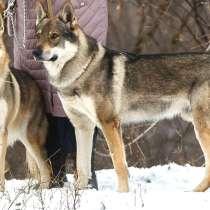 Чехословацкая волчья собака – щенки 2 месяца, мальчик, в Москве