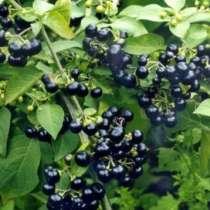 Паслен садовый крупноплодный Санберри. Семена с доставкой, в Томске
