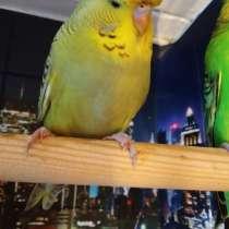 Волнистый попугай Чех Птенец -Самка, в г.Москва