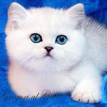Британские котята шиншиллы с изумрудными и синими глазками, в Москве