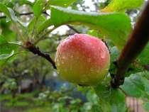 Яблоки, в Санкт-Петербурге