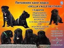 Высокопородные щенки кане корсо, в Саратове