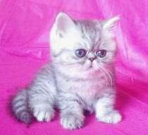 Клубные экзотические котята, в Омске