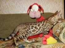 Бенгальские котята питомник Бенамур, в Новосибирске