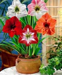 Продам деток, луковицы и зацветающие растения гиппеаструма, в Энгельсе