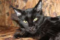 Котята Гиганты Мейн Кун к Новому Году, в Краснодаре