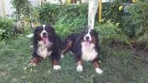 Продаются очаровательные щенки Бернского Зенненхунда, в г.Самара
