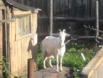 Козлика-самца любой молочной породы, можно беспородного, в Тамбове