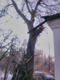 Дерево Орех, в г.Бишкек