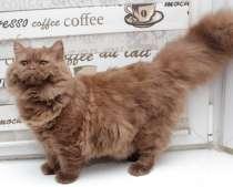 Британский подрощенный котик окраса циннамон, в Москве