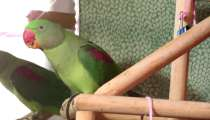 Александрийский попугай, в Москве