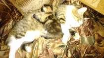 Отдам котят в хорошие руки, в Курске