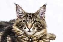 Кот для победителя, в г.Кубинка