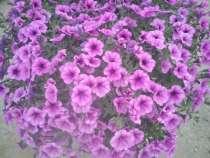 цветущая рассада цветов, в Энгельсе