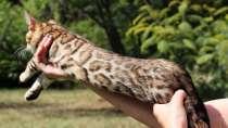 Бенгальские котята из питомника, в Краснодаре