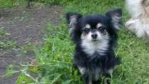 Продаются собачки чихуахуа по низкой цене, в Краснодаре