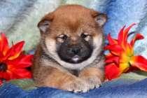 Шиба Ину (маленькая Акита) щенки.., в Белгороде