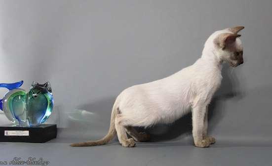 Сиамские котята, современного типа в Казани Фото 5