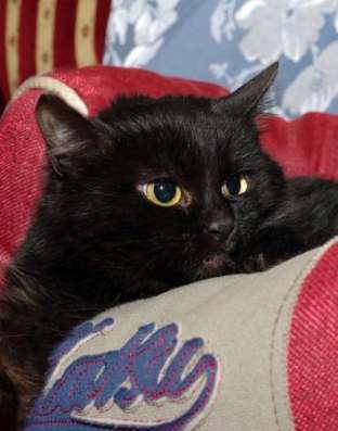 Черная восточная ночь - котенок Суламифь в дар. в Москве Фото 5