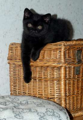 Черные британские котята - кошка