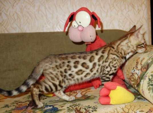Бенгальские котята питомник Бенамур