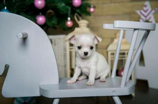 Красивые щеночки породы Чихуахуа! в Кирове Фото 1