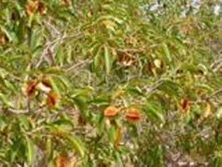 Растительные чаи. Кинкелиба. Африка PRIDE