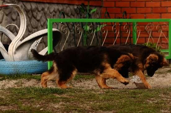 Немецкой овчарки длинношерстные щенки в Москве Фото 2